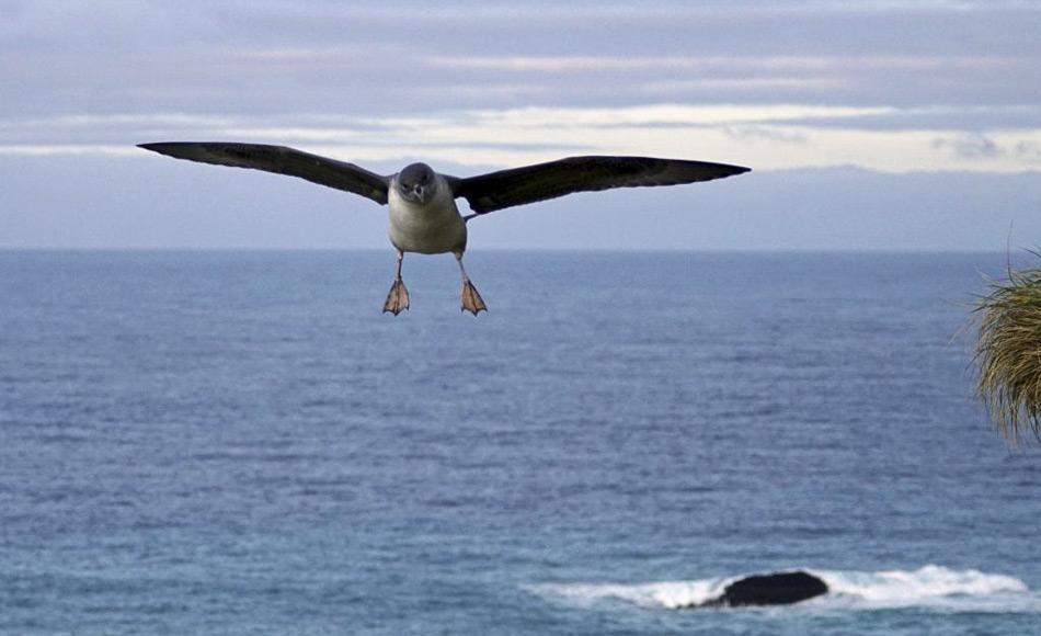 Ein erwachsener Grausturmvogel im Landeanflug. Bei der Futtersuche stoßen die Tiere aus Höhen von bis zu 10 m ins Wasser um Tintenfische, Fische und Krustentiere zu erbeuten. (Foto: Marcus Salton)