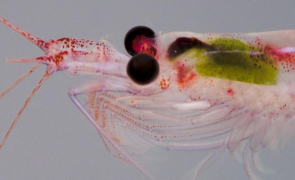 Krillkrebse lassen sich im Winter im Eis einfrieren. Dazu verringern sie nicht nur ihr Gewicht, sondern sie schrumpfen komplett. Im Frühjahr, wenn die Algenblüte wieder einsetzt, müssen sie schnell sehr viel fressen. Bild: Jan van Franeker, Wageningen Marine Research
