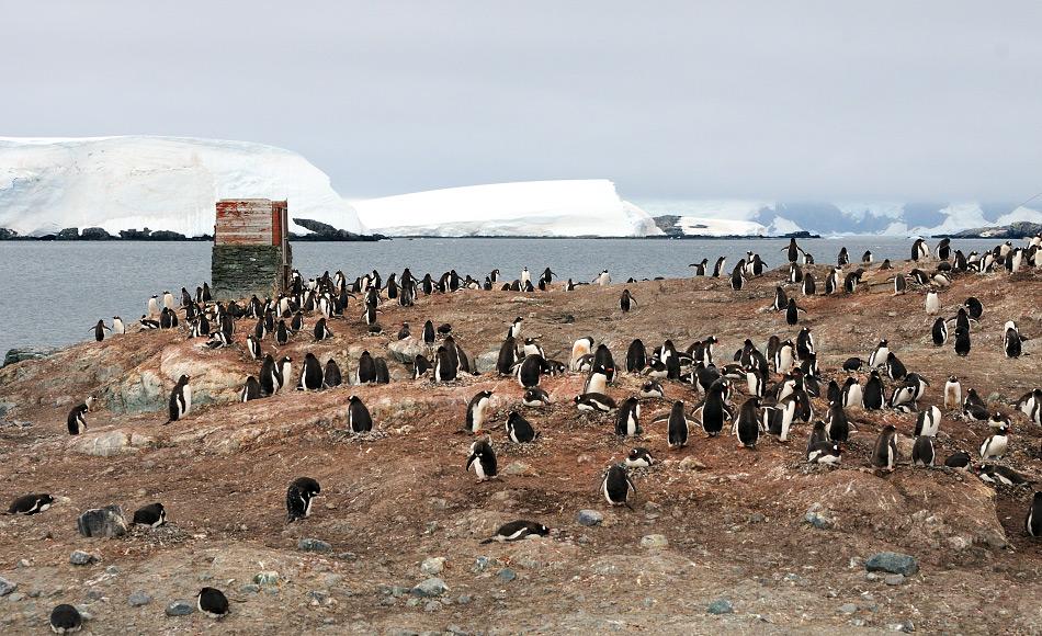 Eselspinguine sind die drittgrösste Pinguinart. Sie sind Generalisten und haben ein breites Nahrungsspektrum, von Fisch bis Krill. Auf dem antarktischen Festland sind sie erst seit kurzem zu finden, wahrscheinlich aufgrund des Klimawandels. Bild: Michael Wenger