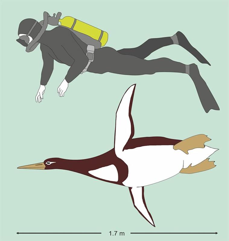 Die Knochen des fossilen Pinguins (schwarz) im Vergleich zu einem Kaiserpinguin zeigen die enorme Grösse deutlich. Im Uhrzeigersinn von oben links: Unterschenkelknochen, Oberarmknochen, Wirbel, Rabenbein. Bild: Jean-Claude, Te Papa
