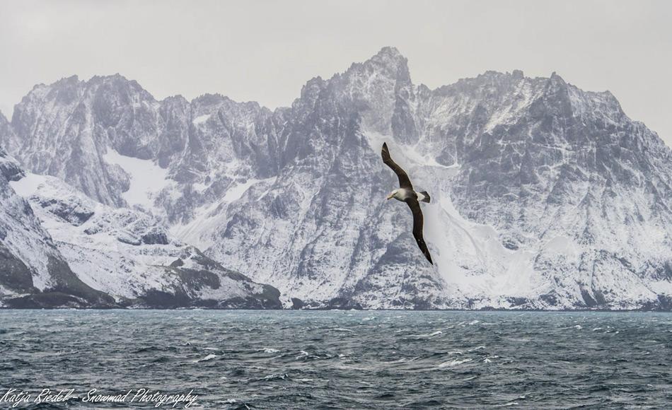 Ein Schwarzbrauenalbatros segelt über den Wellen vor der Bergkulisse Südgeorgiens. Die Gewässer um die Insel sind nährstoffreich und ziehen eine Vielzahl von Tieren an.
