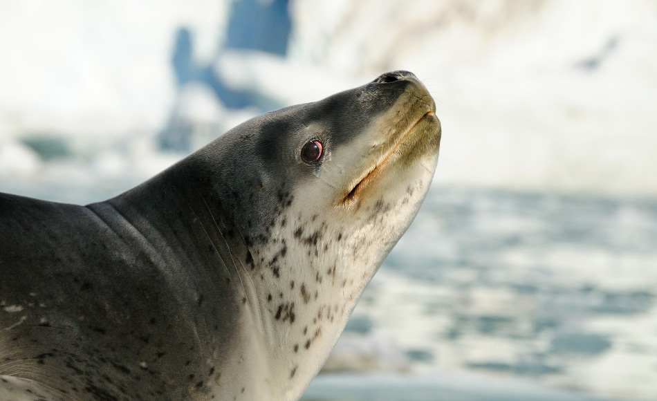 Auf Südgeorgien sind Seeleoparden immer wieder zu finden, meist am Anfang oder am Ende der Saison, wenn das Packeis etwas näher an der Insel ist. Nahrung ist aufgrund der Königspingiune im Überfluss vorhanden, auch im Winter. Bild: Michael Wenger