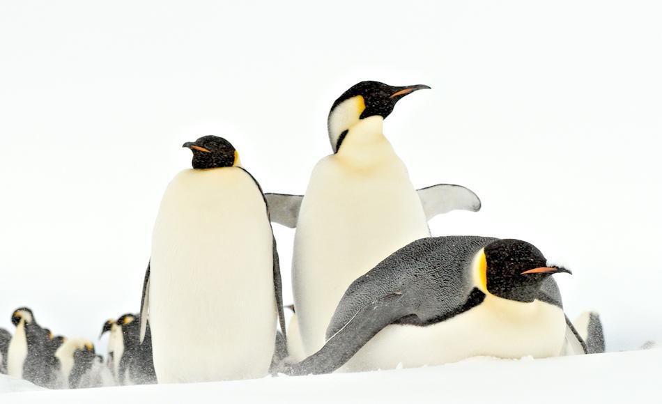 Die grösste Pinguinart, Kaiserpinguine, brüten auf dem Festeis rund um den antarktischen Kontinent in insgesamt 46 Kolonien. Von allen Pinguinarten weisen sie die extremste Lebensweise auf, da sie ihr Brutgeschäft bereits vor dem Winter beginnen. Bild: Michael Wenger