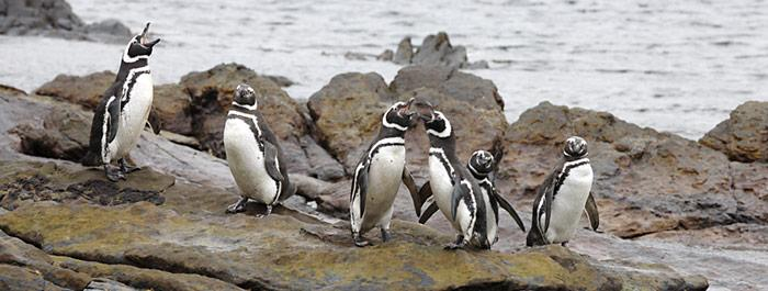 Magellanpinguine