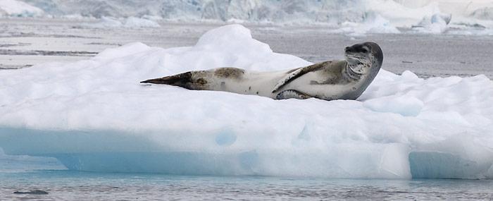 Seeleopard