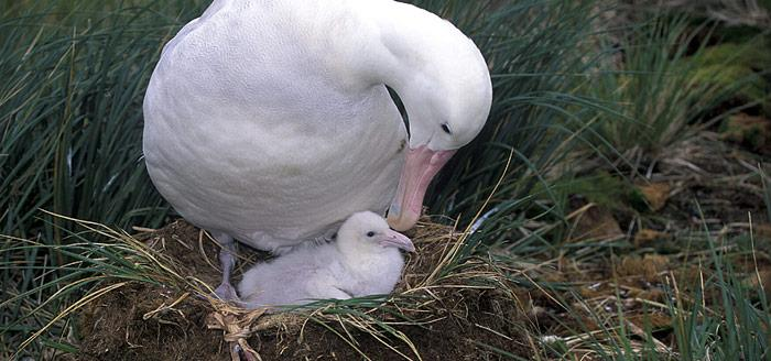 Albatros mit Nachwuchs