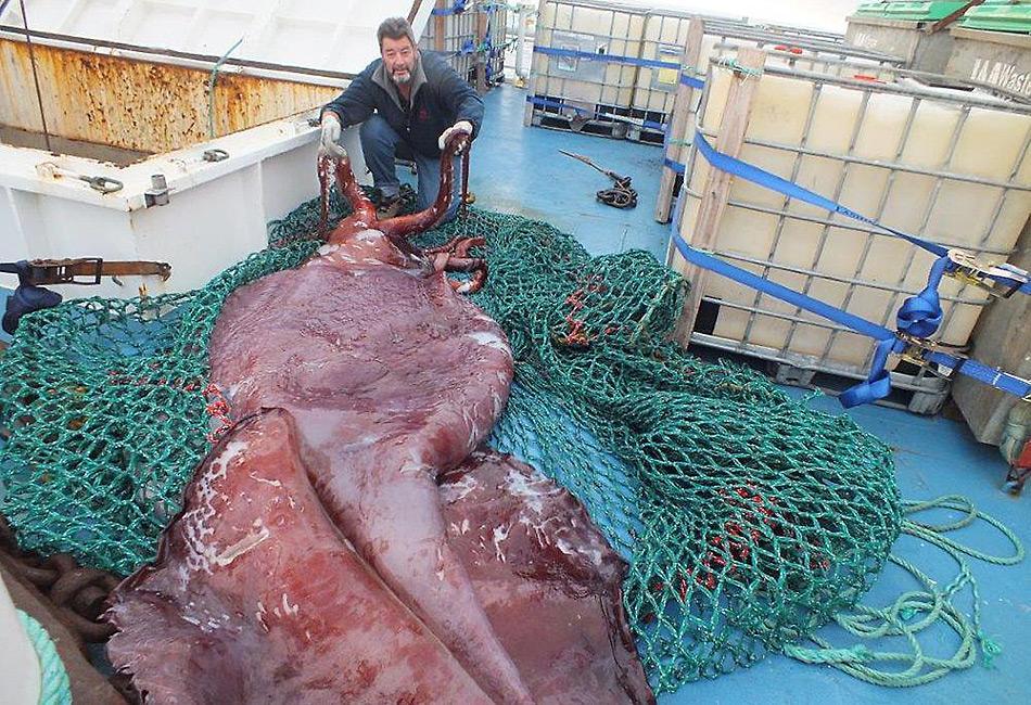 Der 500 Kilogramm schwere und vier bis fünf Meter lange Riesentintenfisch wurde mit einem Netz auf das Schiff gebracht.