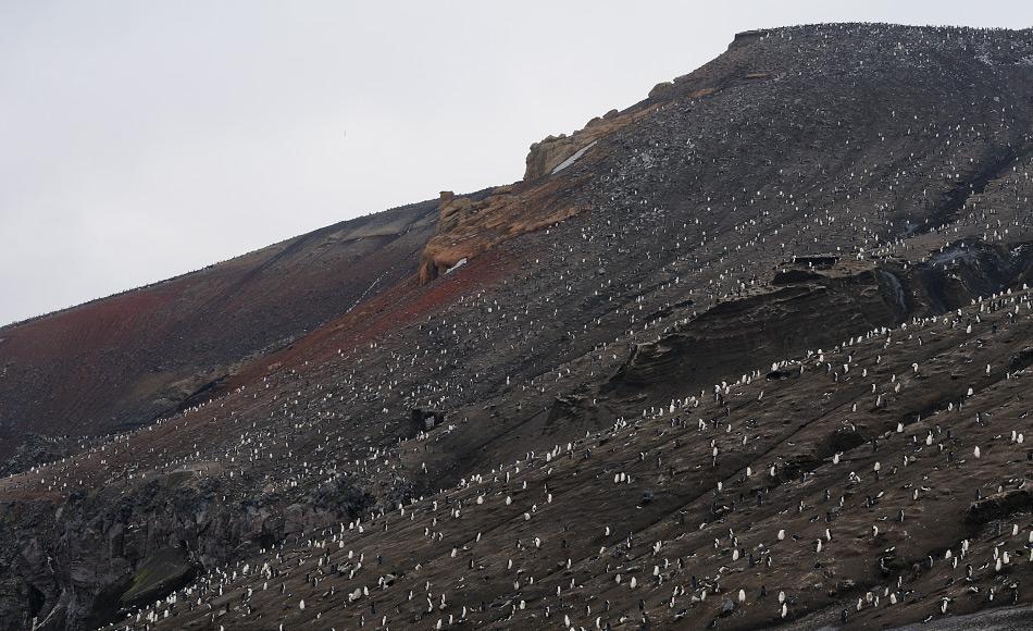 Die Südsandwich-Inseln sind am östlichen Ende des Scotiabogens und bestehen aus etwa 11 Inseln. Sie sind die Heimat von Millionen von Pinguinen, die auf den Inseln wegen des Reichtums der Scotia-See brüten. Besonders Zügelpinguine sind weitverbreitet wie hier auf Saunders Island. Bild: Michael Wenger
