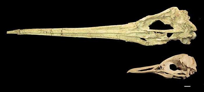 Pinguin-Schaedel