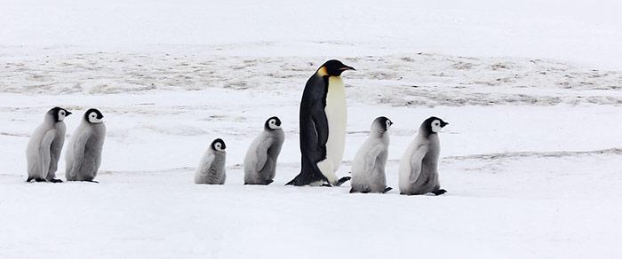Kommt ein erwachsener Kaiserpinguin vom Meer zurück in die Kolonie, wird er von den hungrigen Jungtieren bedrängt – es könnte ja Futter geben.