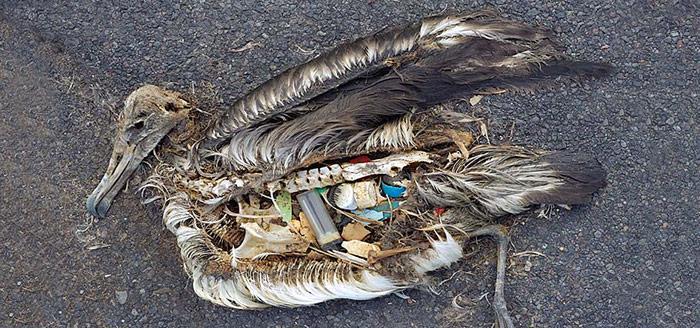 Tragisches Resultat: Verendeter Albatros – der Magen war voll, aber mit der falschen Nahrung.
