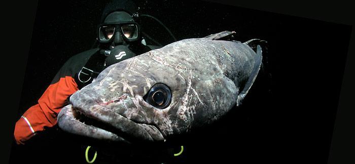 Antarctis Taucher und Toothfish