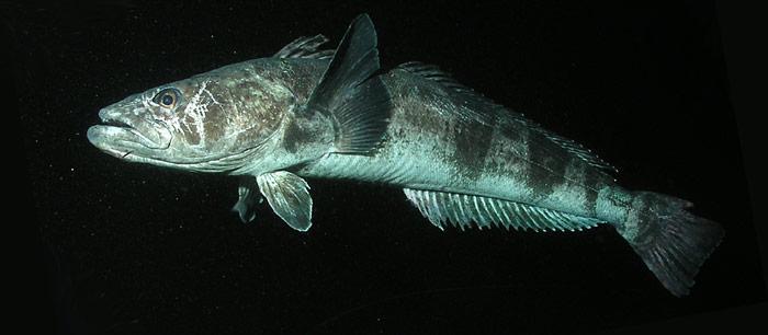 Zum Schutz der Antarktisdorsche soll deren Fang beschränkt werden.