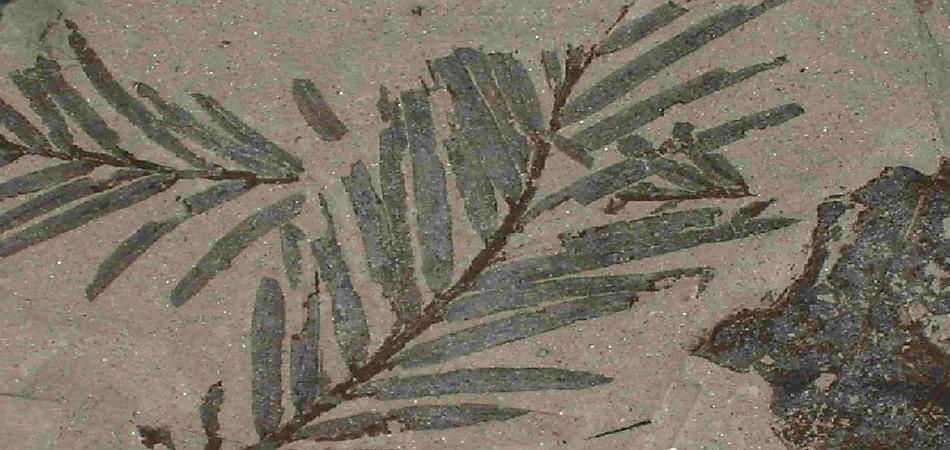 Zeugen der früheren Warmzeit. Unter den fossilen Funden auf der antarktischen Halbinsel befinden sich Blätter, Holz, Pollen und sogar Blumen.