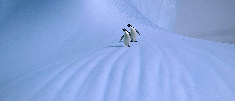 Die neusten Klimamodelle sagen für die polaren Regionen mehr Schnee voraus, dies dürfte die Pinguine in der Antarktis freuen.