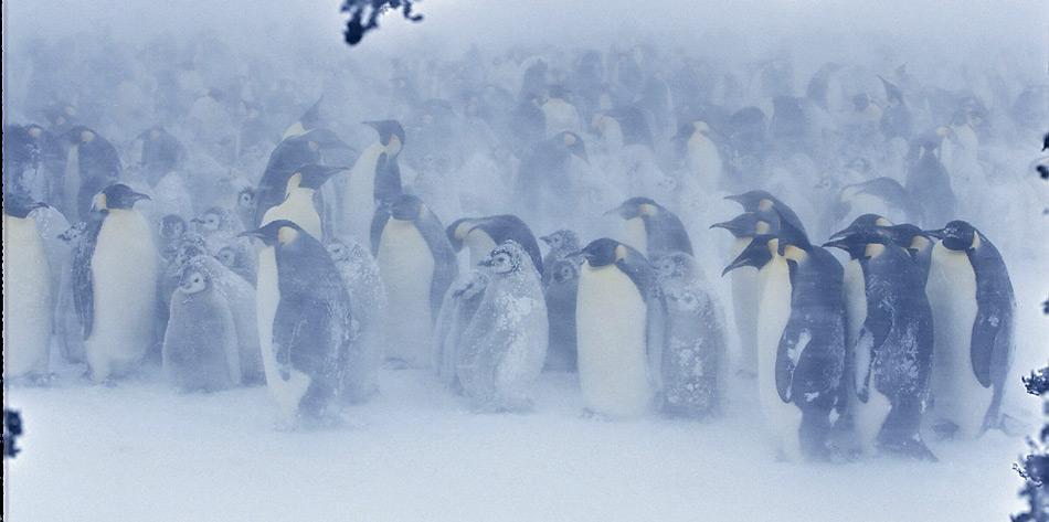 Kaiserpinguine im Sturm der Antarktis. Wenn es nach den neusten Klimamodellen  geht dürfte dies auch in Zukunft so bleiben.