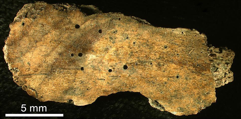 Dieses Rippenfragment eines Wals zeigt die runden Bohrlöcher des Zombie-Wurms, die bis zu 0,5 mm Durchmesser haben.