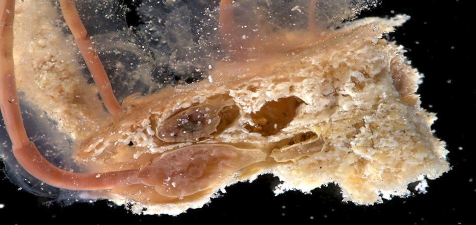 Die «Zombie Würmer Osedax» ernährt sich von den Knochen toter Wale. Sie besitzen weder Mägen noch Mundöffnungen und verdauen Walfette und -öle mit Hilfe spezieller Bakterien. Wissenschaftler glauben, dass der Knochenfresser-Wurm mindestens 30 Millionen Jahre alt ist.