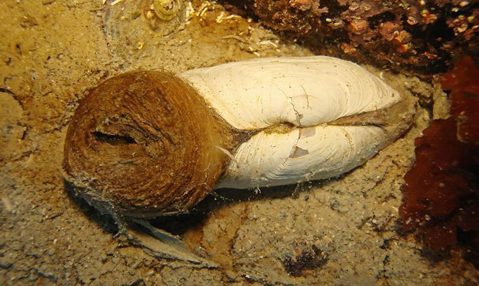 Die Laternula elliptica oder Klaffmuschel ist die grösste Muschel des südlichen Ozeans und ist rund um die Antarktis verbreitet.