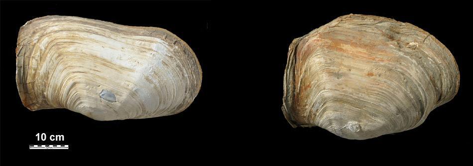 Laternula elliptica Schalen