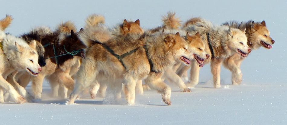 Von Schlittenhunden werden hohe körperliche und mentale Fähigkeiten verlangt. Schlittenhunde haben bei der Eroberung von Nord- und Südpol eine grosse Rolle gespielt. Roald Amundsen setzte sie erfolgreich bei der Eroberung des Südpols ein.