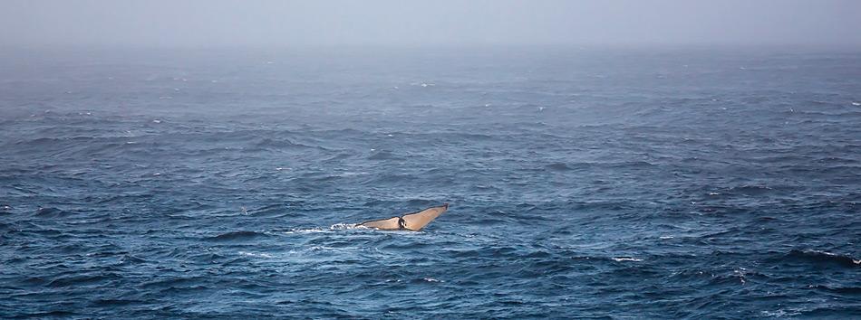 Ein Buckelwal taucht nach einem Atemzug an der Meeresoberfläche wieder hinab in die Tiefe. Das neue Waldetektierungssystem erkennt Tiere wie dieses auf eine Entfernung von bis zu fünf Kilometern. Foto: Stefan Hendricks, AWI