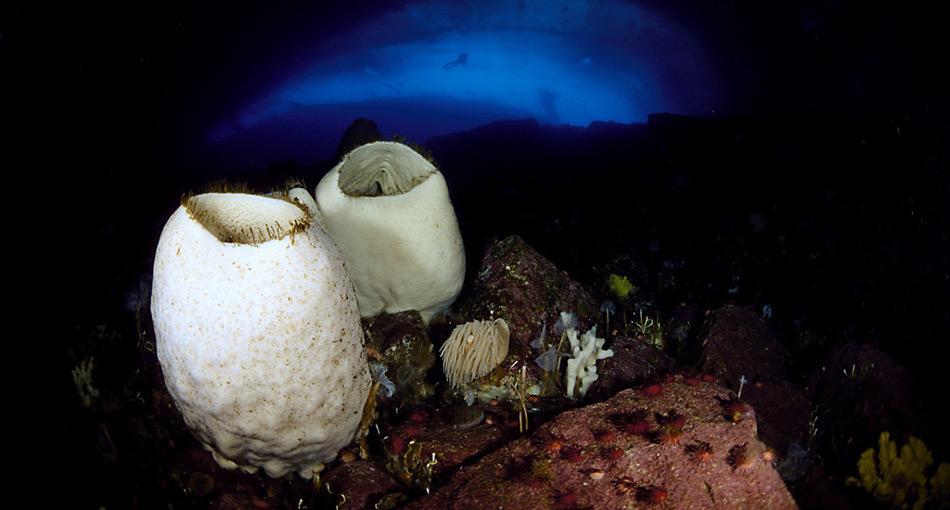 Scolymastra joubini ist ein Riesenschwamm am Boden der antarktischen Ozeangebiete, der das höchste Alter aller bekannten Organismen erreichen soll, es wurden über 10.000 Jahre angenommen. Foto: Norbert Wu, National Science Foundation