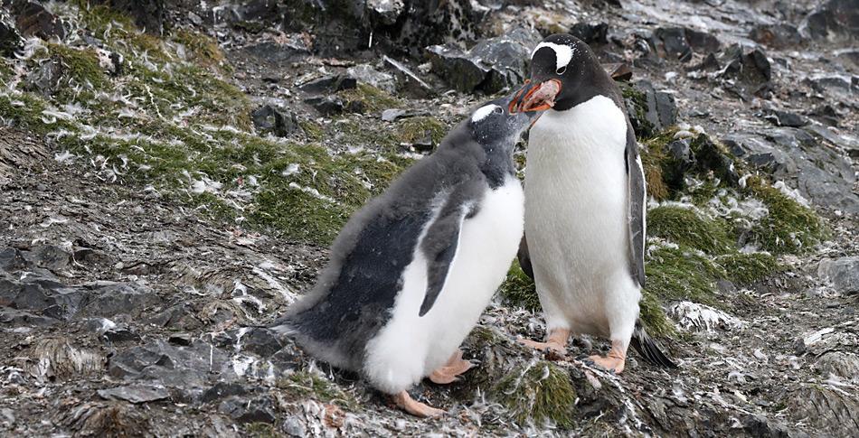 Wichtige Nahrungsquelle für die Pinguine auf South Georgia ist der Krill.