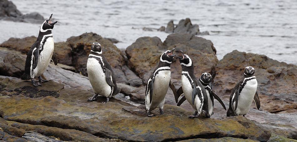 Der Magellan-Pinguin kommt an den felsigen Küsten der Falklandinseln, in Chile, Argentinien, Uruguay und teilweise auch im Süden Brasiliens vor. Die Gesamtpopulation wird auf etwa 1,3 Millionen Brutpaare geschätzt
