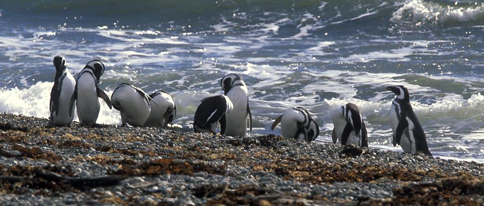 Magellan-Pinguine ernähren sich hauptsächlich von Kalmaren, Fischen, verschiedenen Krebstieren und von Krill. Zur Nahrungssuche gehen sie für gewöhnlich in grösseren Gruppen. Sie sind sehr gute Taucher und Schwimmer. Die Jagd findet in Wassertiefen bis etwa 50 Meter Tiefe statt.
