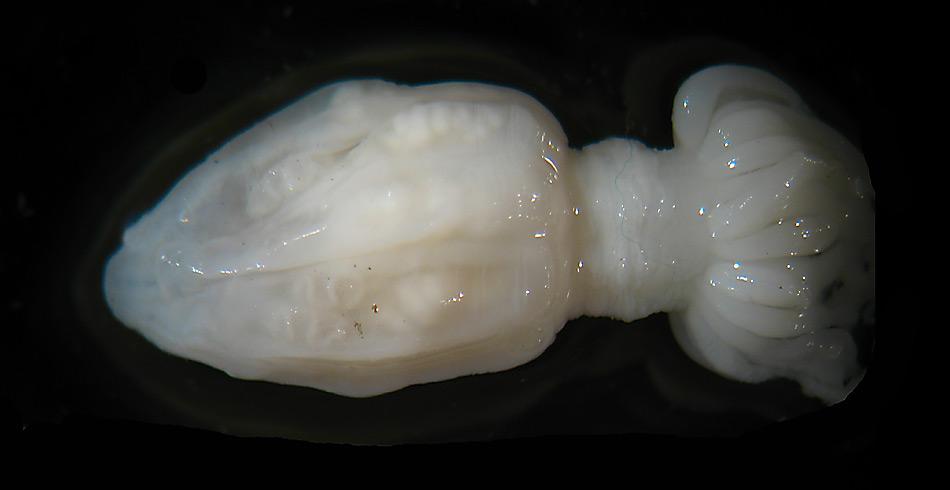 Die Seeanemone ist nur sehr klein, weniger als 2.5 cm lang. © Frank Rack, University of Nebraska - Lincoln
