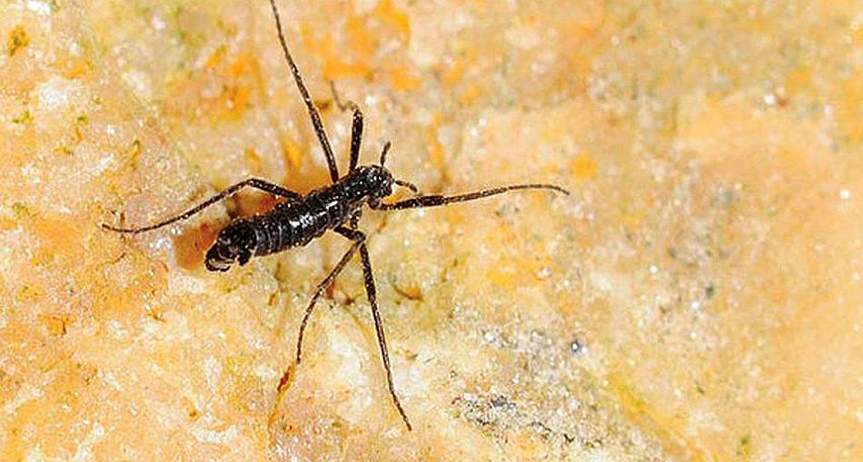 Die Mücke wird nur etwa 5 Millimeter gross und ihr Leben als Mücke dauert nur etwa sieben bis zehn Tage.