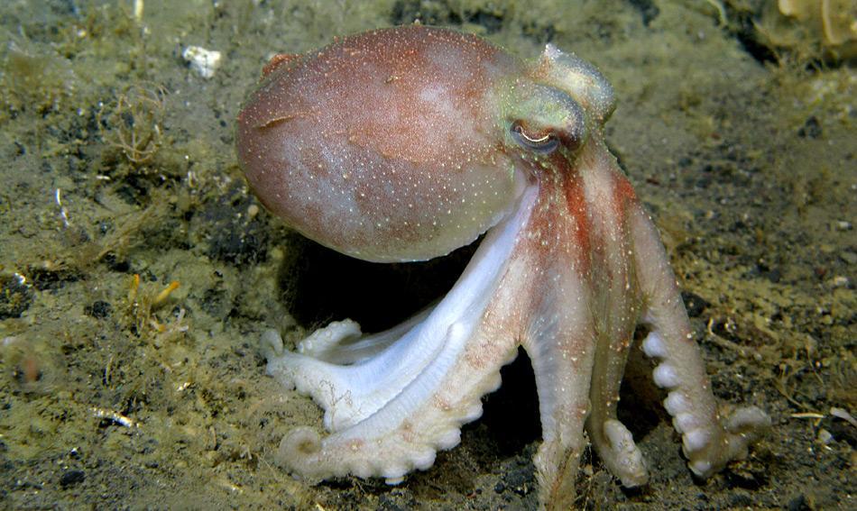 Die antarktische Krake Pareledone charcoti hat die höchste Konzentration von Hämocyanin im Blut.