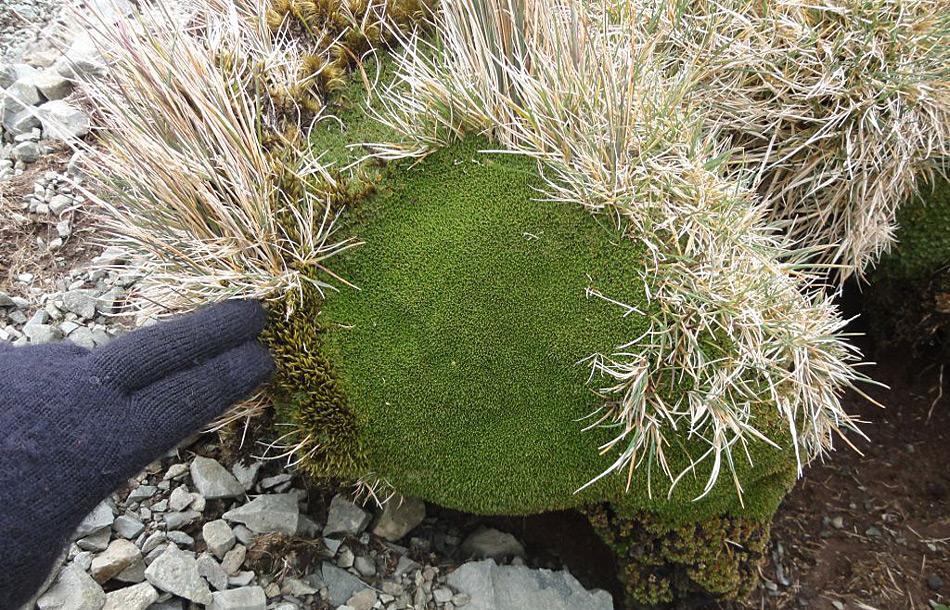 Bei guten Bedingungen wächst Azorella bis zu 5 Millimeter pro Jahr. Doch durch die dünne Humusschicht und den ständigen Wind wird die Pflanze nie in die Höhe wachsen, sondern Polster bilden. Bild: Dana Bergstrom