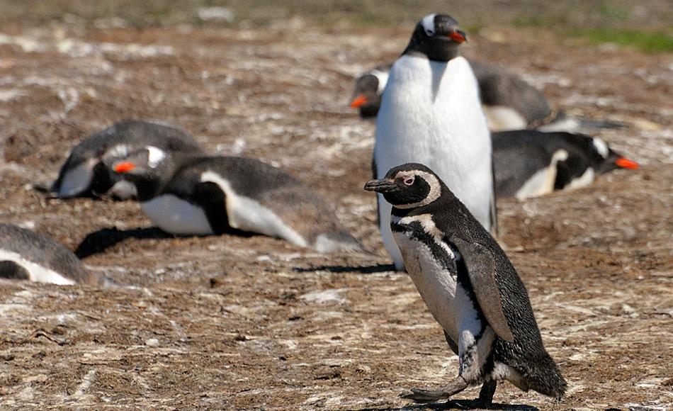 Magellanpinguine bewohnen auch Inseln des Falklandarchipels. Dort sind sie direkte Nachbarn von Eselspinguinen. Bild: Michael Wenger