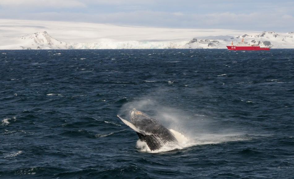 Sichtungen von Buckelwalen entlang der antarktischen Halbinsel haben in den letzten Jahrzehnten zugenommen und sind ein gutes Anzeichen für eine sich erholende Population. Hoffentlich können diese Giganten dadurch in eine sicherere Zukunft springen. Bild: Michael Wenger