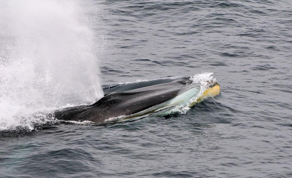 Finnwale sind die zweitgrössten Wale der Welt. Sie können eine Gesamtlänge von 20 – 22 m erreichen und wiegen rund 80 Tonnen. Der Unterkiefer ist zweifachgefärbt und die rechte Seite ist hellgrau bis weiss statt grau. Bild: Michael Wenger