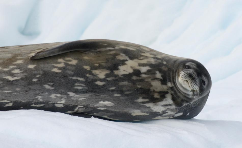 Aufgrund der Biomagnifikation können in höheren Räubern wie Robben grössere Mengen von Quecksilber in den Körpern angereichert werden. Dies wird zu verstärkten Verhaltensänderungen und sogar Opfern führen.