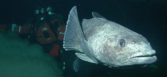 Der Fisch wird 1,75 Meter lang und erreicht ein Gewicht von 80 kg. Er wird in den letzten Jahren intensiv befischt und ist inzwischen durch Überfischung gefährdet.