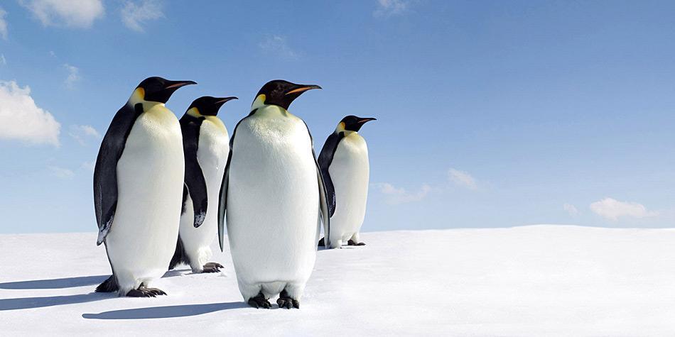 Typischer Bewohner der Weddel Sea. Es sind einige Kolonien der Kaiserpinguine in dieser Region bekannt. PolarNEWS organisiert jedes Jahr im November eine Fahrt zur nördlichsten Kaiserpinguinkolonie bei Snow Hill Iceland.