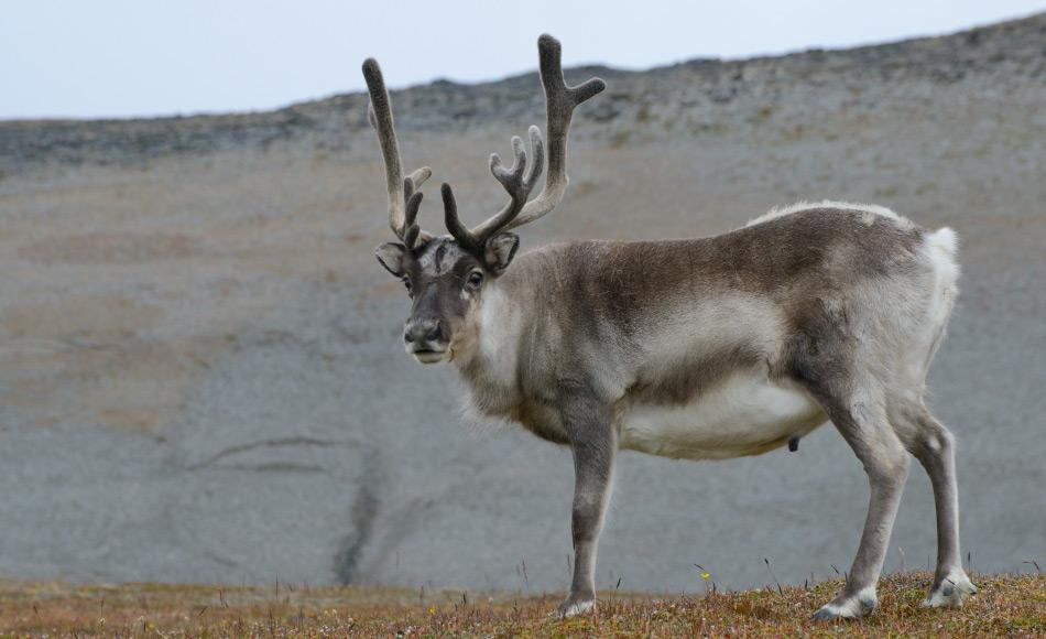 Svalbardrentiere sind kleiner und stämmiger als die Tiere auf dem Festland, da ihre Nahrungsgebiete kleiner sind. Und kleinere Tiere brauchen weniger Nahrung. Bild: Michael Wenger