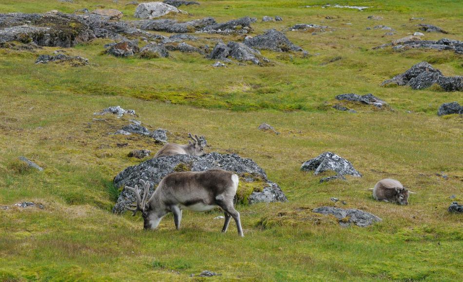 Svalbardrentiere sammeln sich in kleinen Herden aufgrund der knappen Nahrung und der Abwesenheit von Jägern wie beispielsweise Wölfe. Bild: Michael Wenger