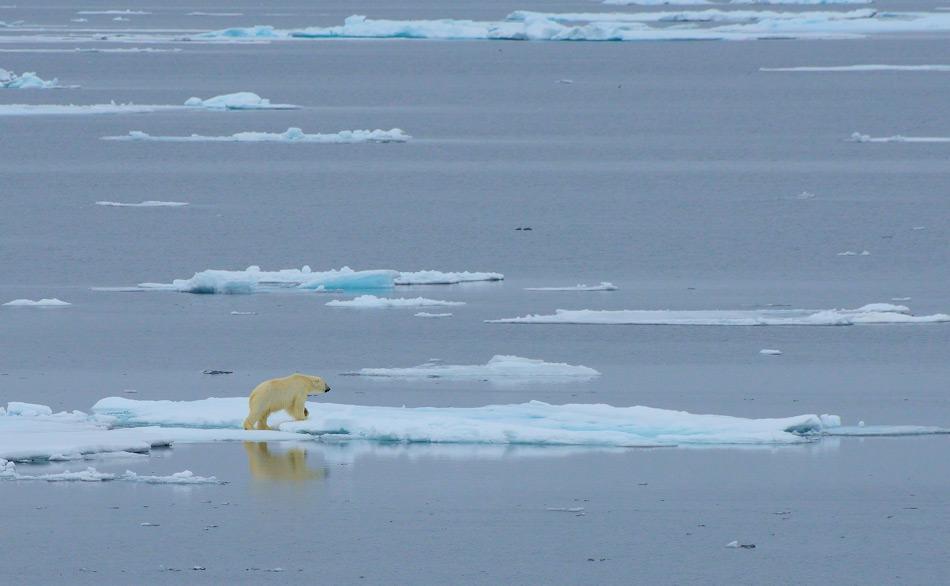Viele arktische Bewohner haben sich an ein Leben auf dem Meereis  angepasst. Daher wird der Verlust dieses wichtigen Lebensraumes negative Effekte auf verschiedenen Ebenen des arktischen  Ökosystems haben, besonders auf ikonische Arten wie den Eisbären. Bild: Michael Wenger