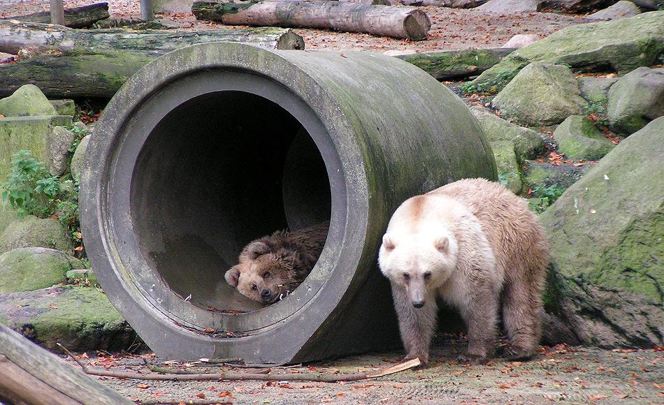 Hybridbären sind immer noch sehr selten zu finden. Im Osnabrücker Zoo musste vor einiger Zeit ein Tier erschossen werden, nachdem es aus seinem Gehege geflohen war und nicht wieder eingefangen werden konnte. Bild: Corradox, Wikipedia