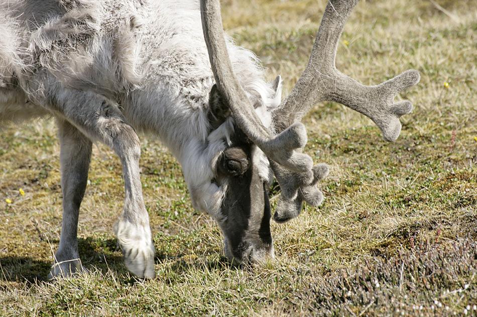 reindeer_svalbard