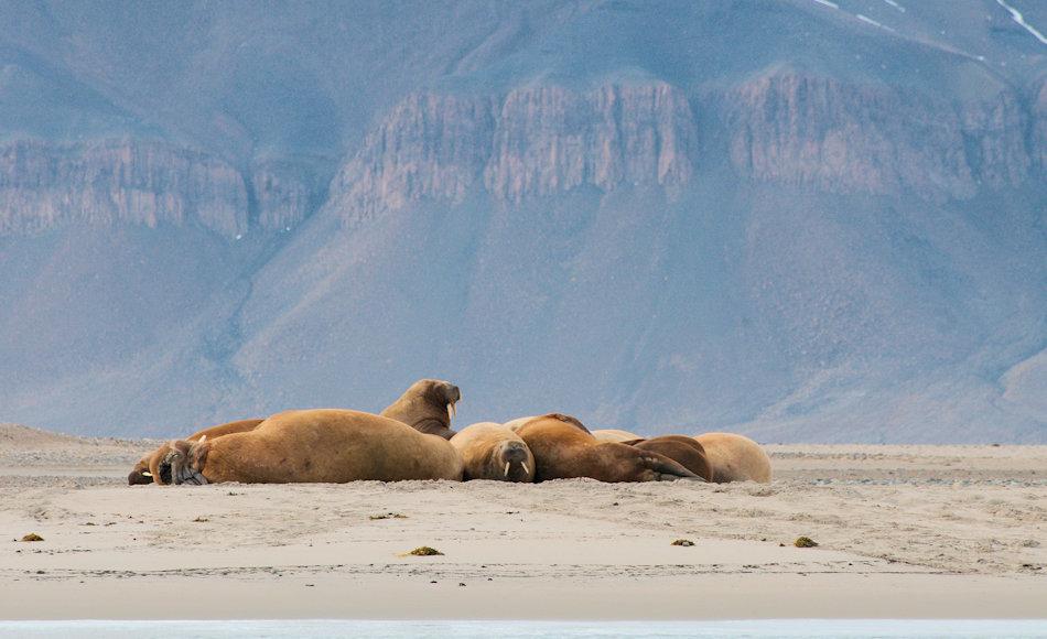 Die Walrosse, die grösste Robbenart im Norden, werden bereits seit Jahrhunderten wegen ihren markanten Stosszähnen gejagt. Besonders in Grönland hat sich die Population durch diese extensive Bejagung nur langsam erholt. Bild: Michael Wenger