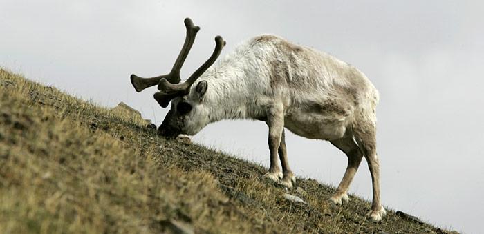 Rentier in Spitzbergen