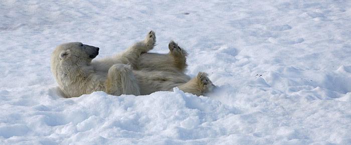 Schlafender Eisbär