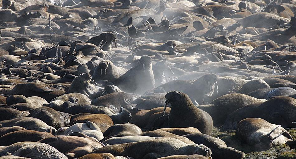 Im Gedränge der Walrosskolonie haben kleine Jungtieren schlechte Überlebenschancen.