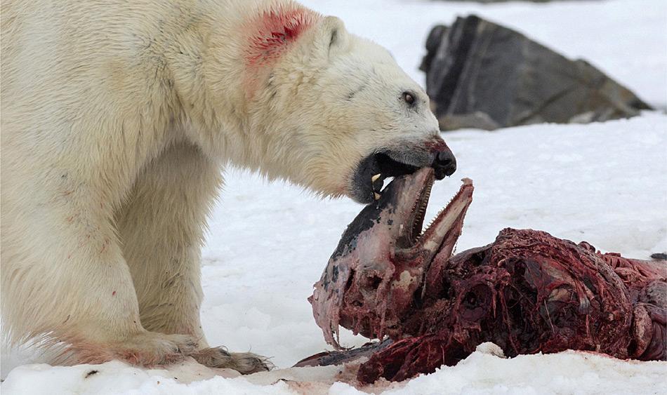 Eisbären fressen normalerweise zuerst die nahrhafte Speckschicht, bevor sie andere Teile nehmen. Interessanterweise wird das Muskelfleisch zuletzt gefressen, da seine Verdauung sehr viel Energie in Form von Wärme verbraucht. Nachdem ein Eisbär seinen Bauch gefüllt hat, bedeckt er die Überreste mit Eis und Schnee, um sie vor anderen Plünderern zu schützen.